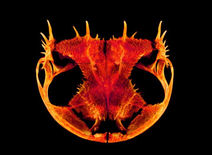 Anotheca spinosa skull