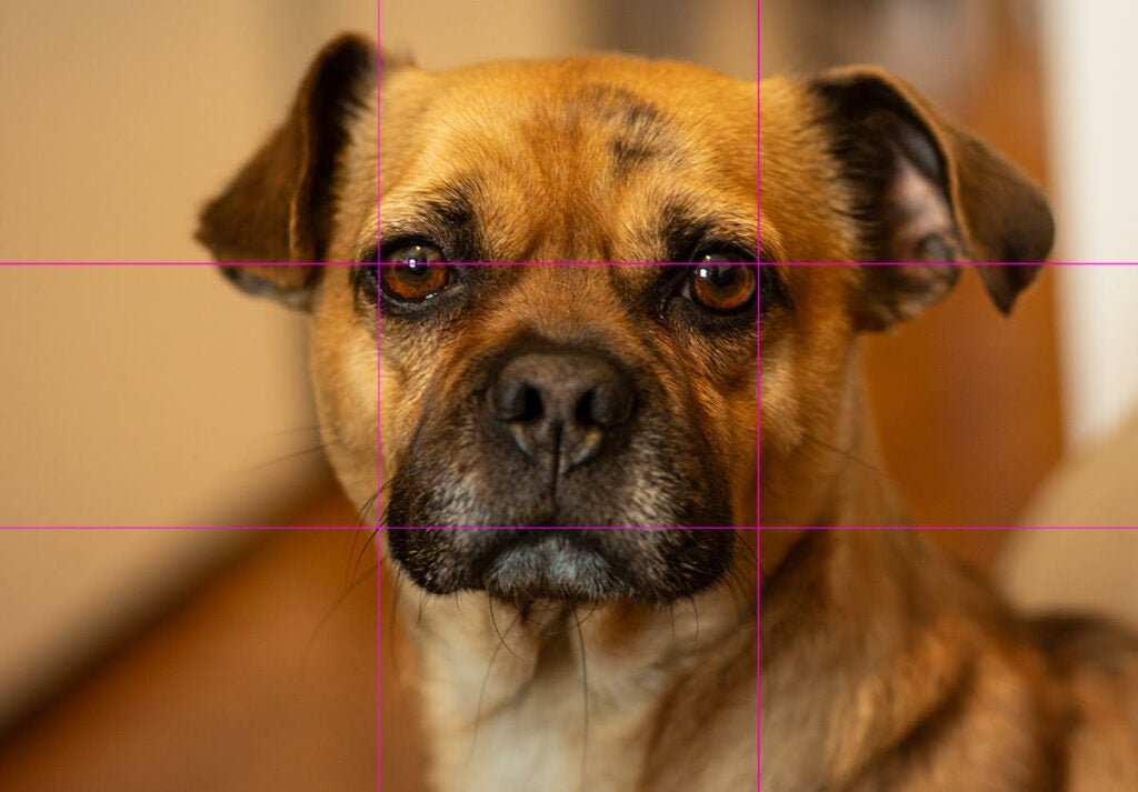 a photo of a dog overlaid with a three-by-three grid to demonstrate photography's rule of thirds