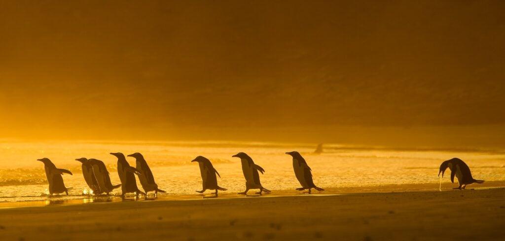 Gentoo penguins. Falkland Islands.