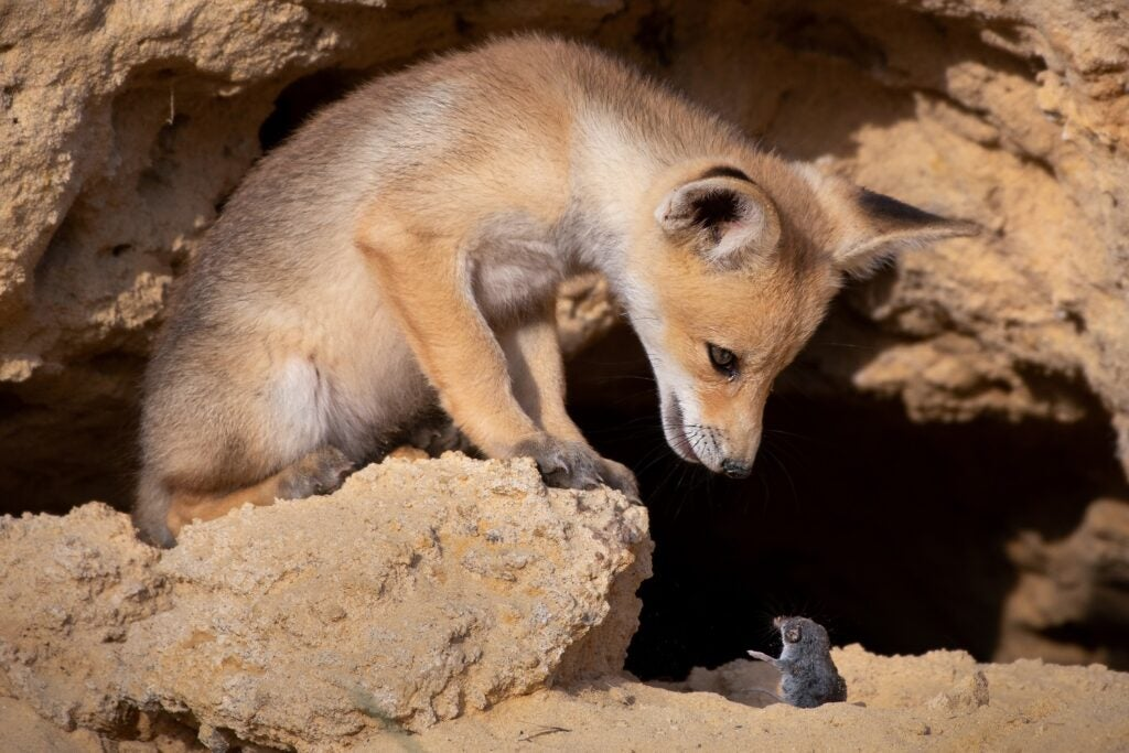 Young red fox and shrew. Israel.