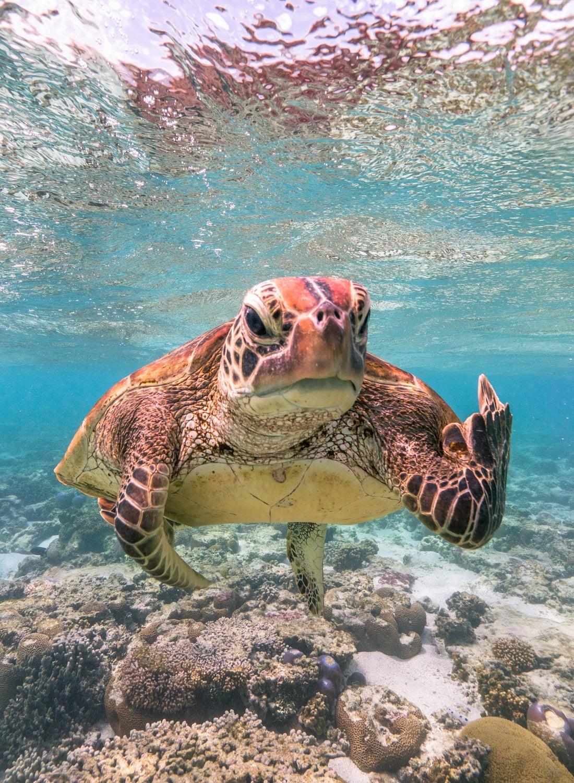 Sea turtle. Queensland, Australia.
