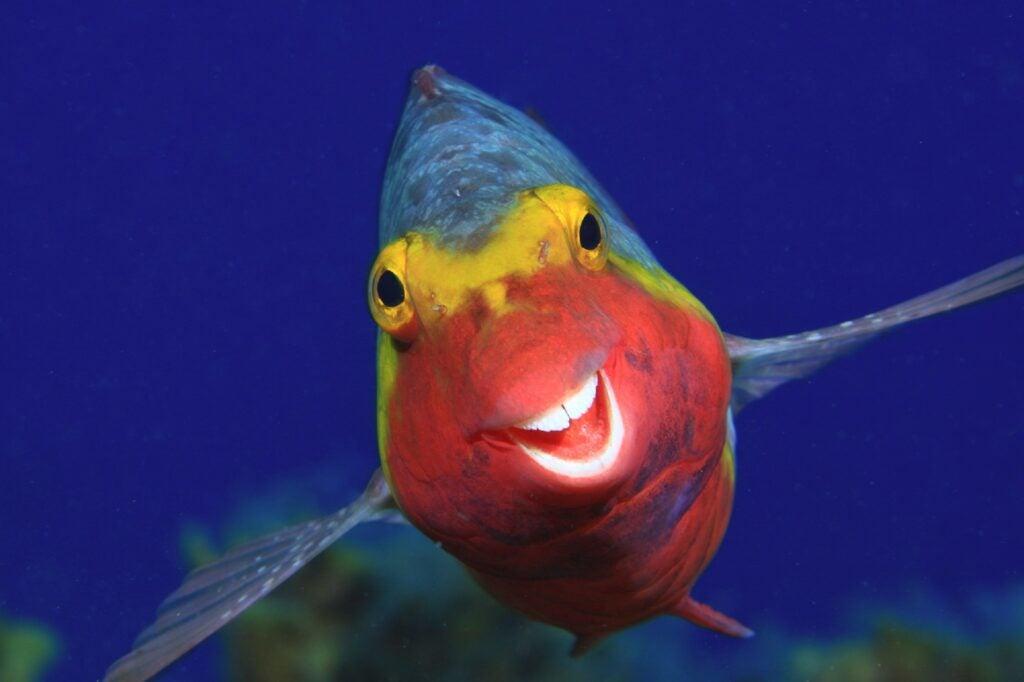 Mediterranean parrotfish. El Hierro, Canary Islands.