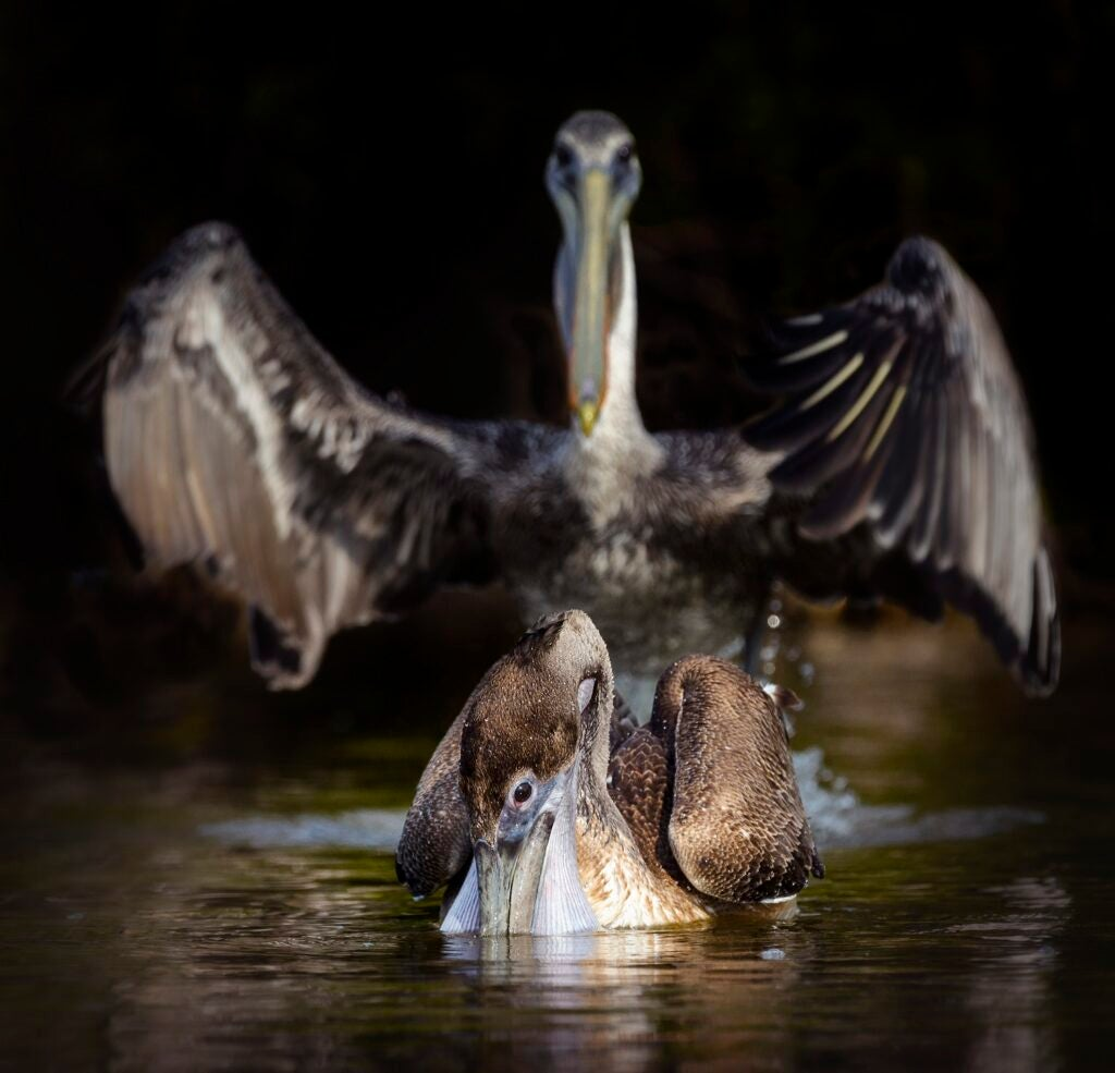 Brown pelicans. Fort Myers Beach, Florida.