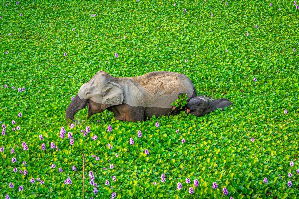 Indian elephants. Kaziranga, India.