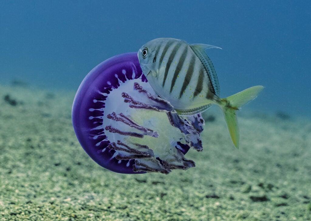 fish in jellyfish