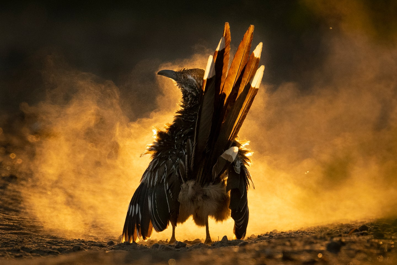 A bird against a cloud of dust