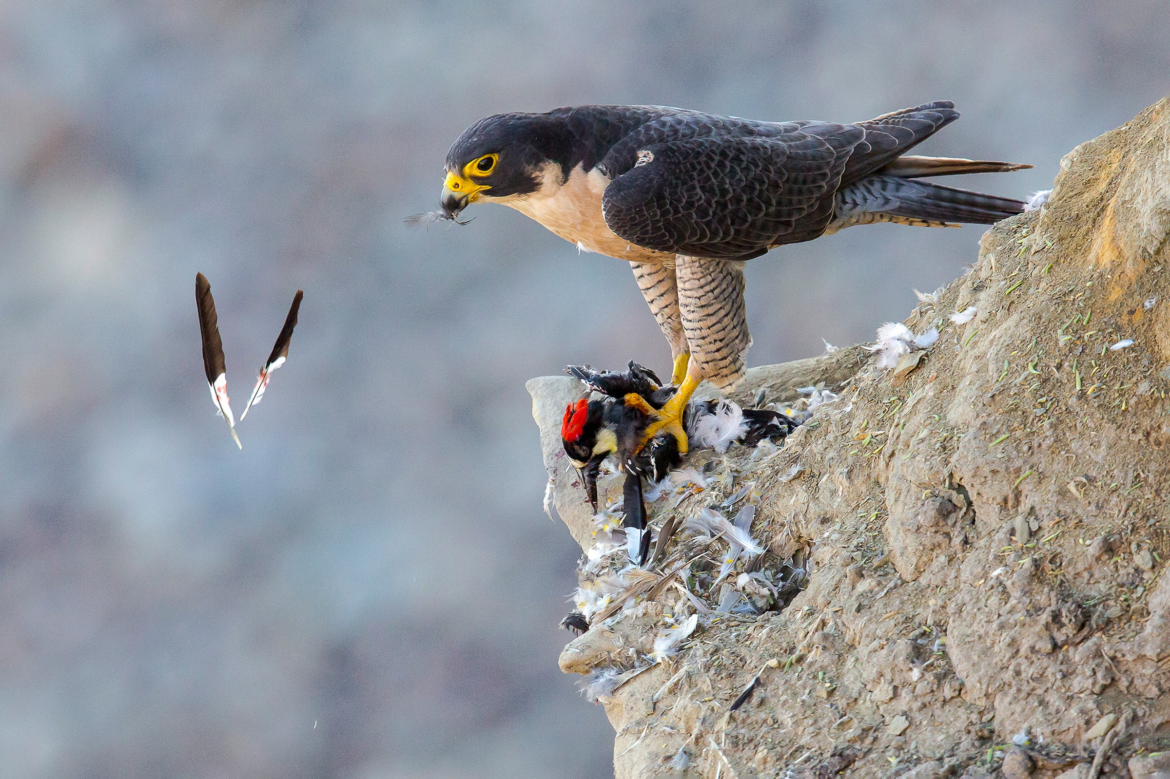 falcon looking over a cliff