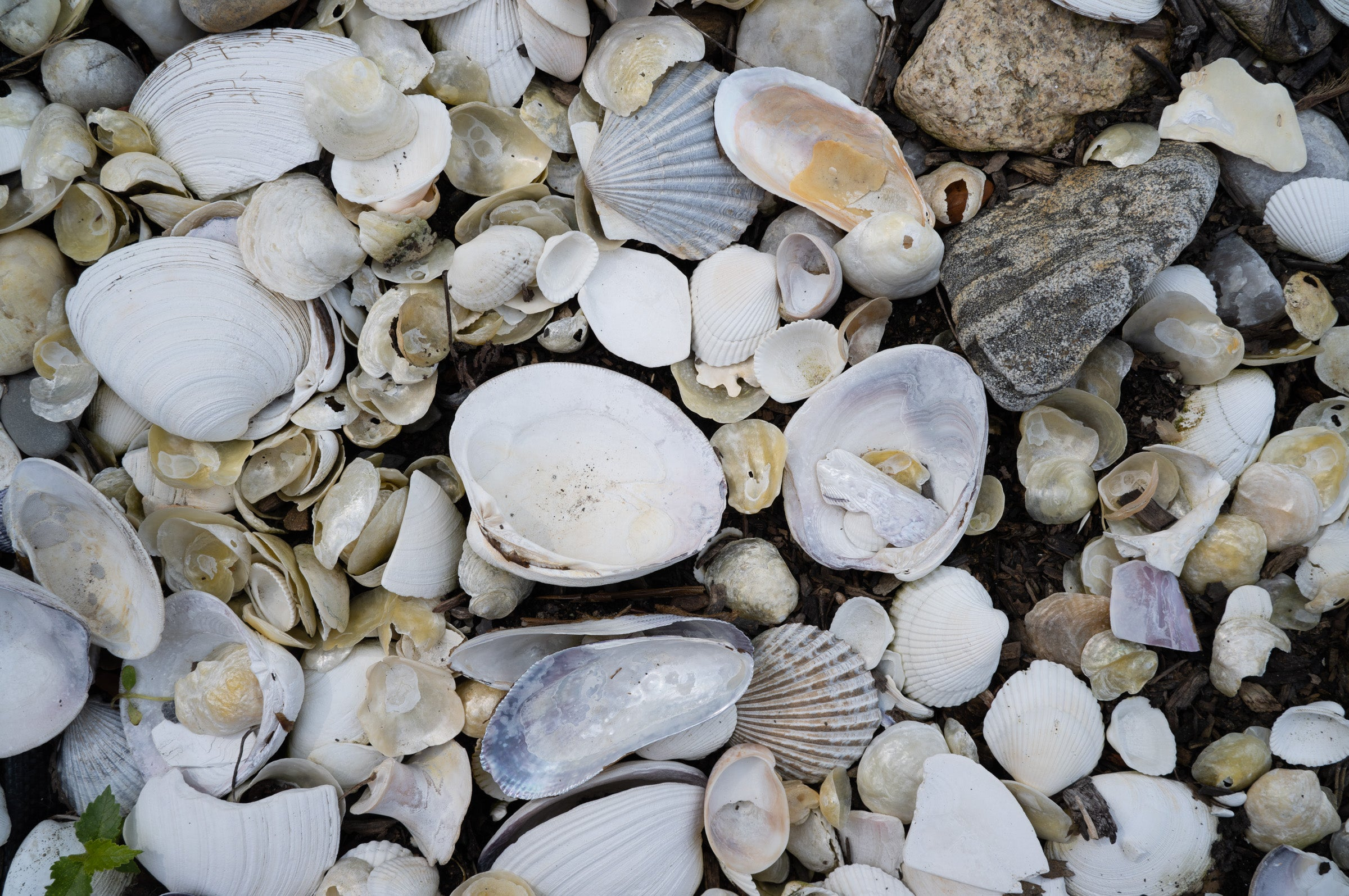 Shells seen in strong clarity with the Sigma camera lens