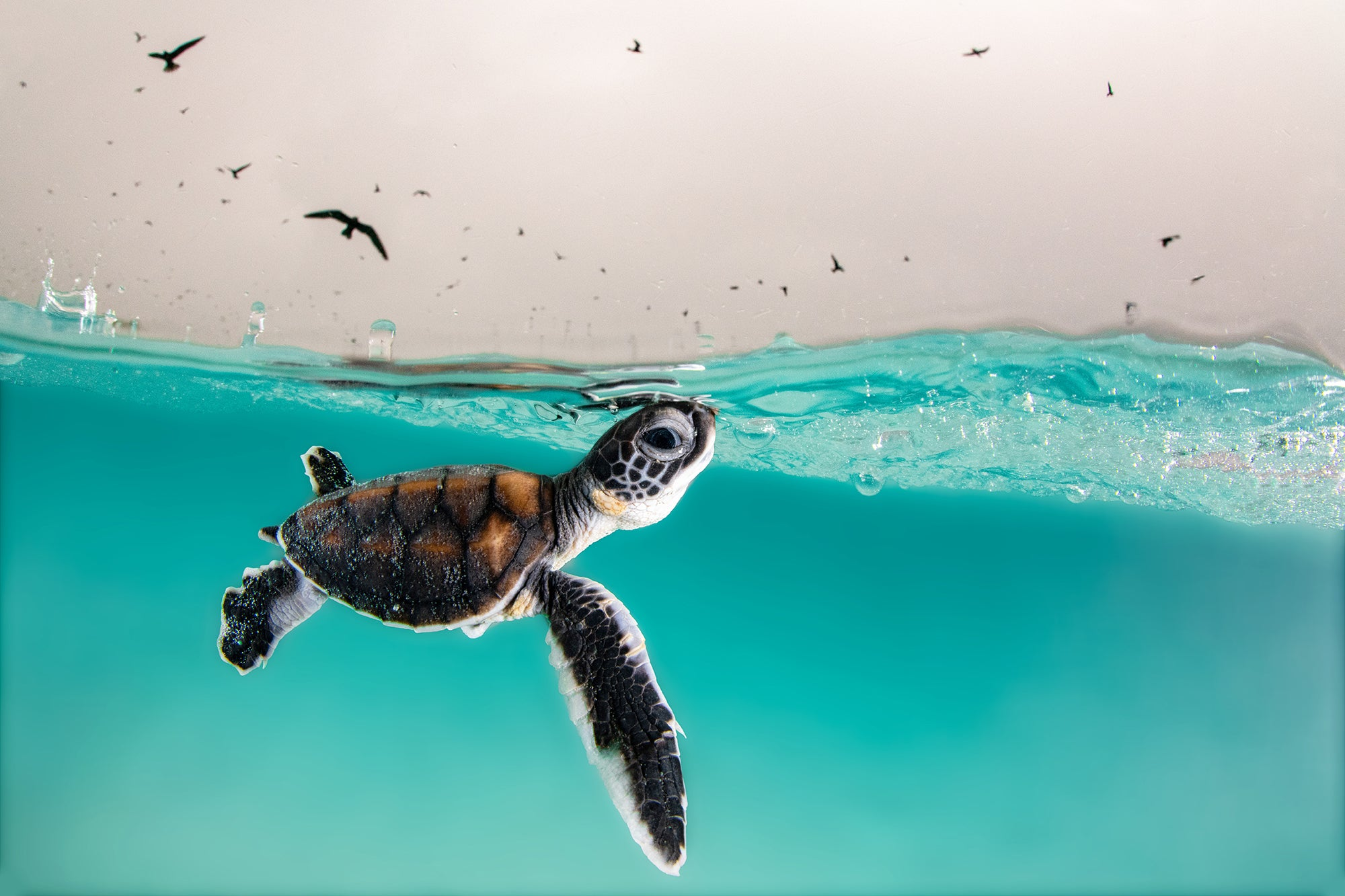 A green turtle hatchling cautiously surfaces for air, to a sky full of hungry birds. Heron Island, Australia