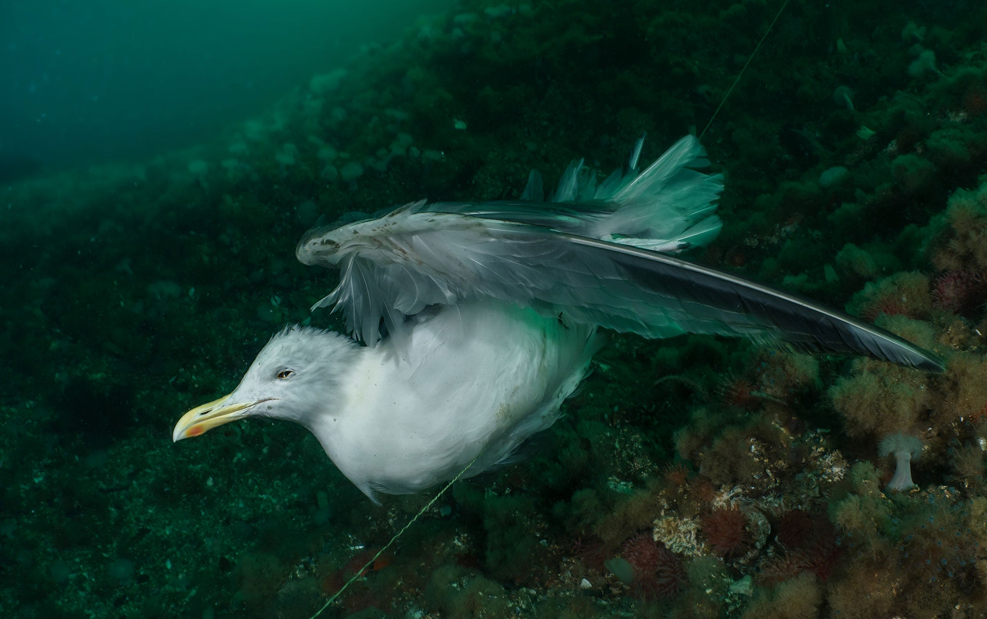 A gull caught on a 'ghost' fishing line (lost or discarded gear), Saltstraumen, Norway