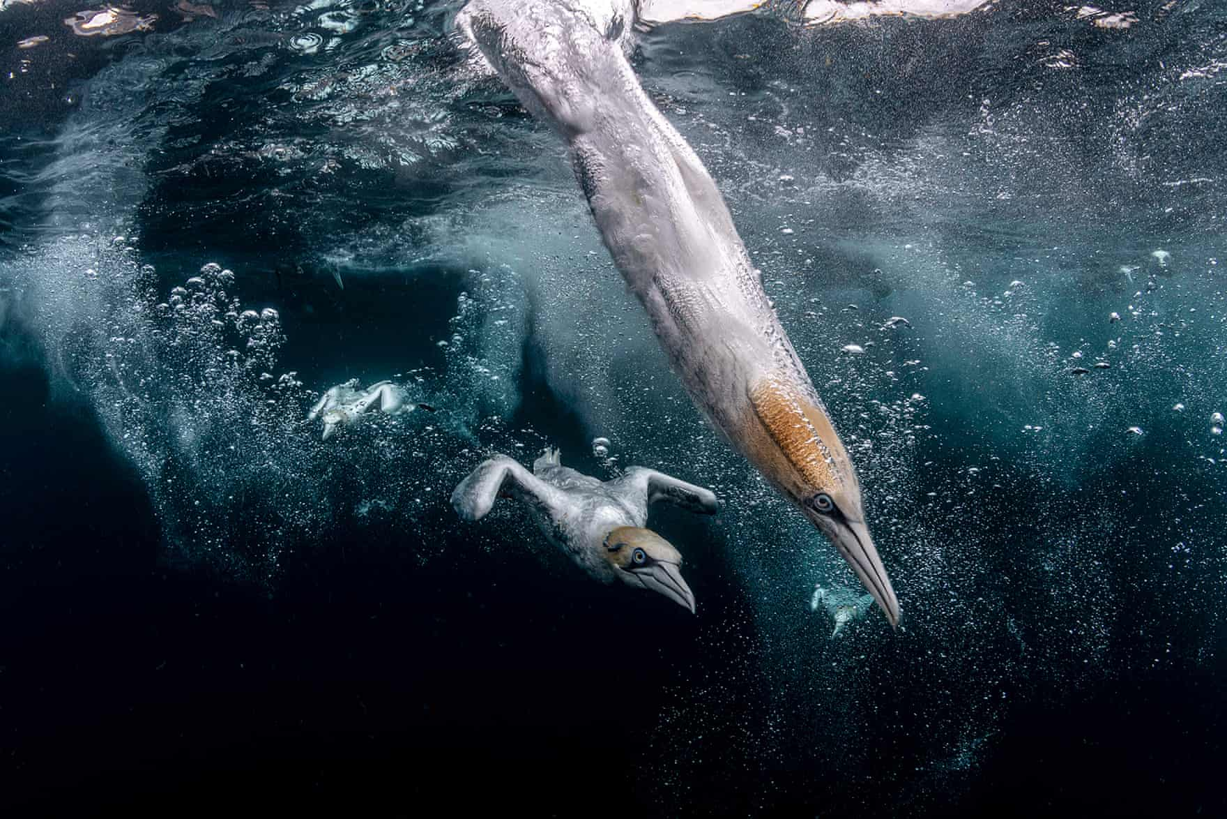 Diving gannets hit the water off the Isle of Noss, Shetland, UK