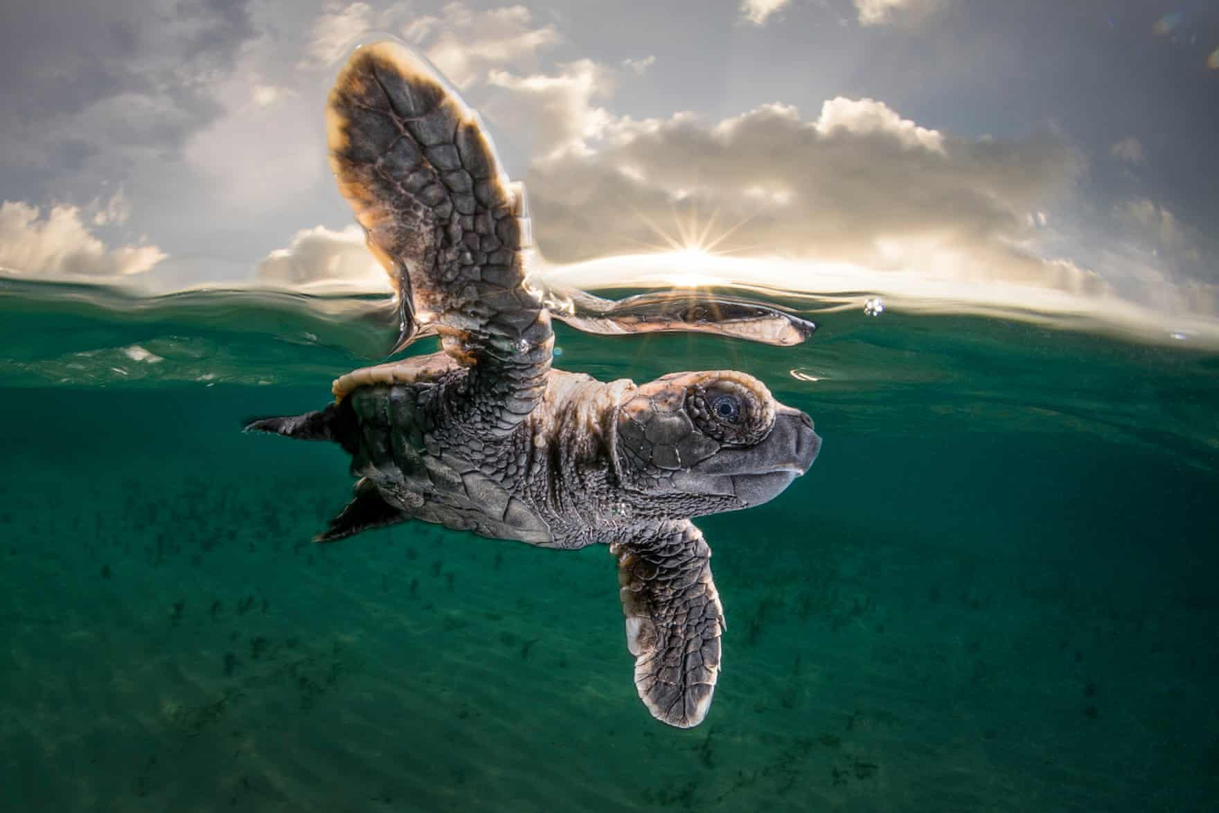 A hawksbill turtle hatchling, just 3.5cm long and a few minutes old, takes its first swim