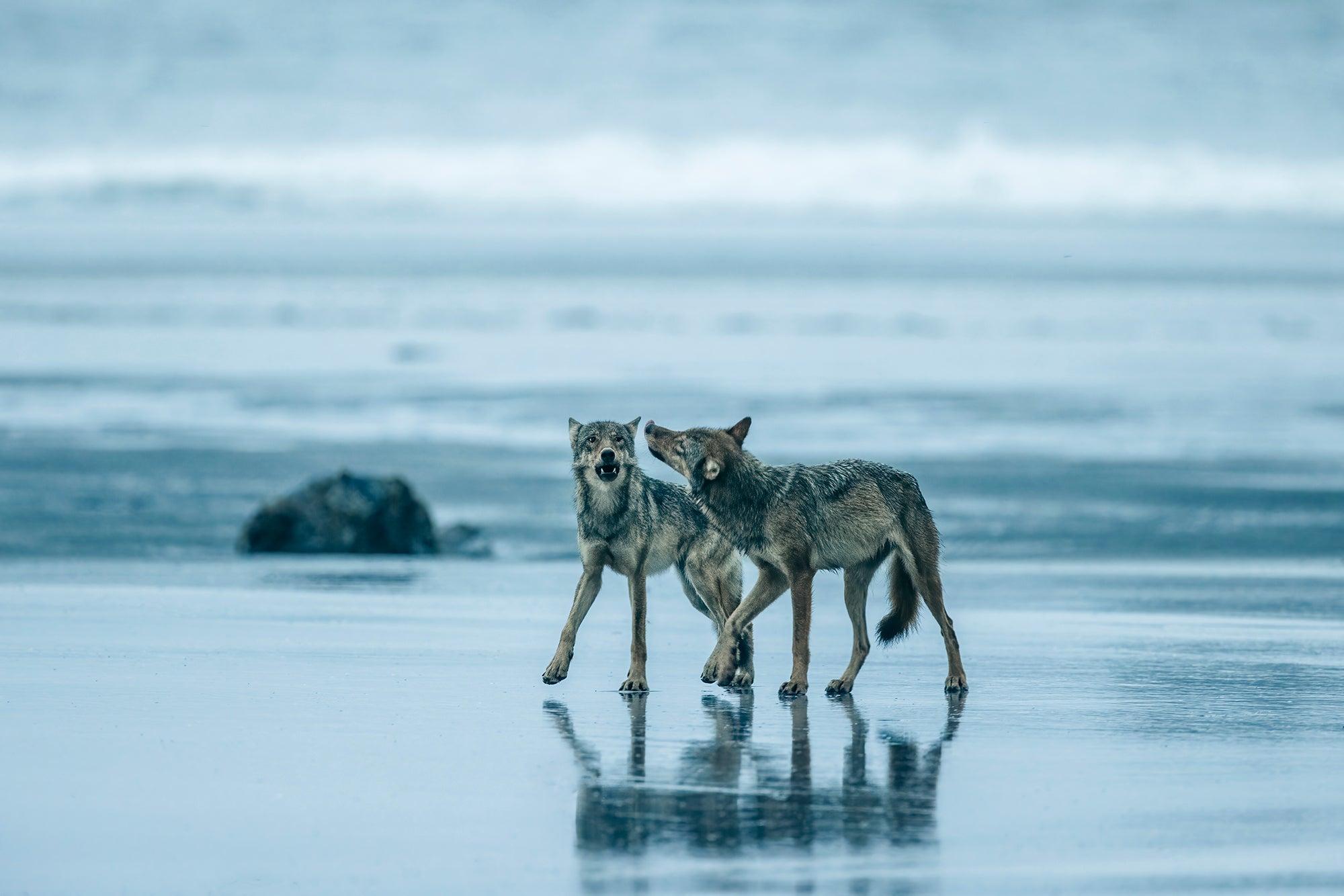 Coastal wolves play on a remote beach