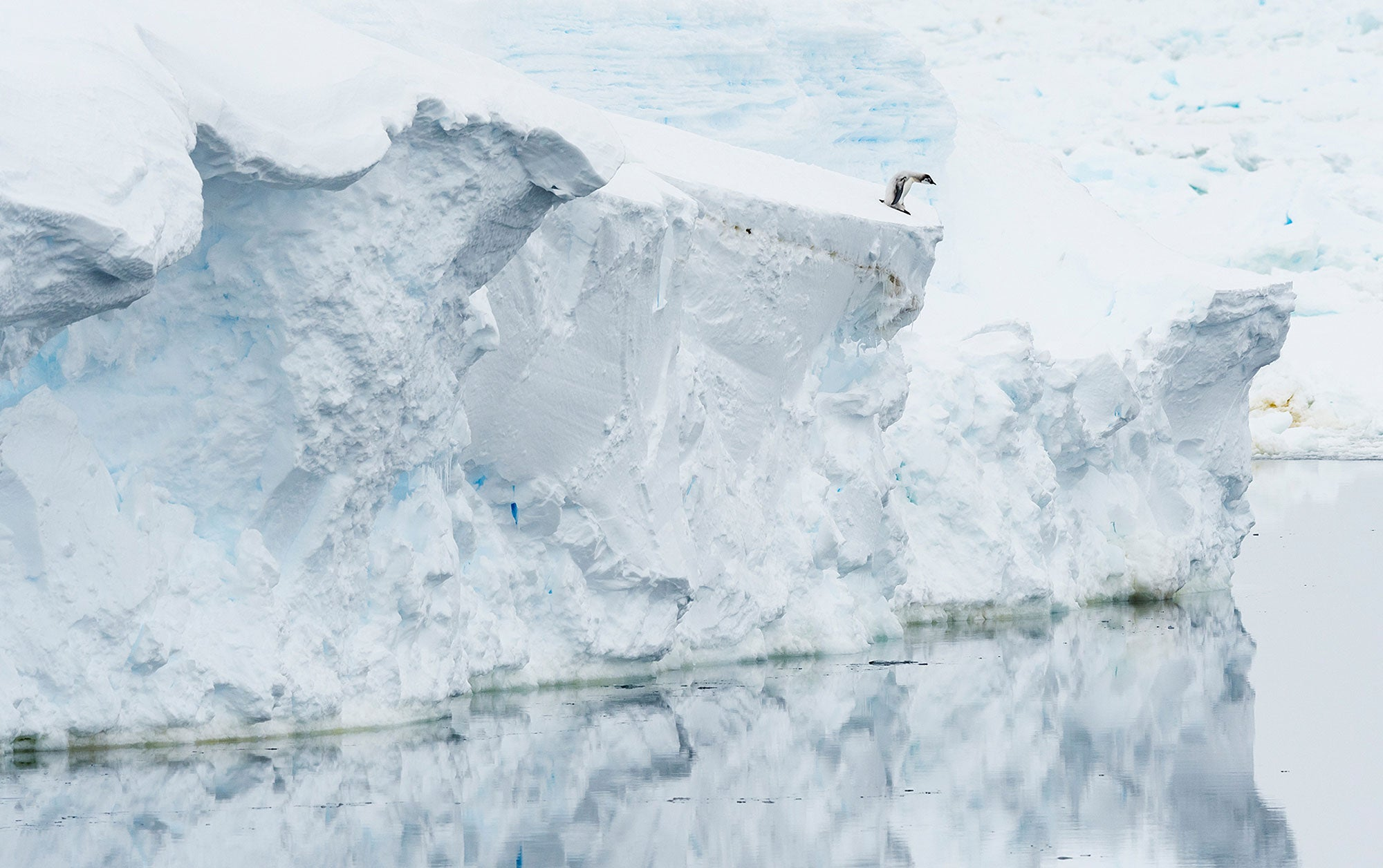 An emperor penguin chick stands on the edge of the ice-shelf, starring at the open water below