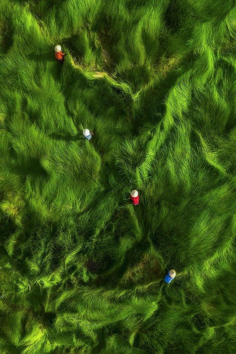 Women harvest grass in the lowlands of Vietnam