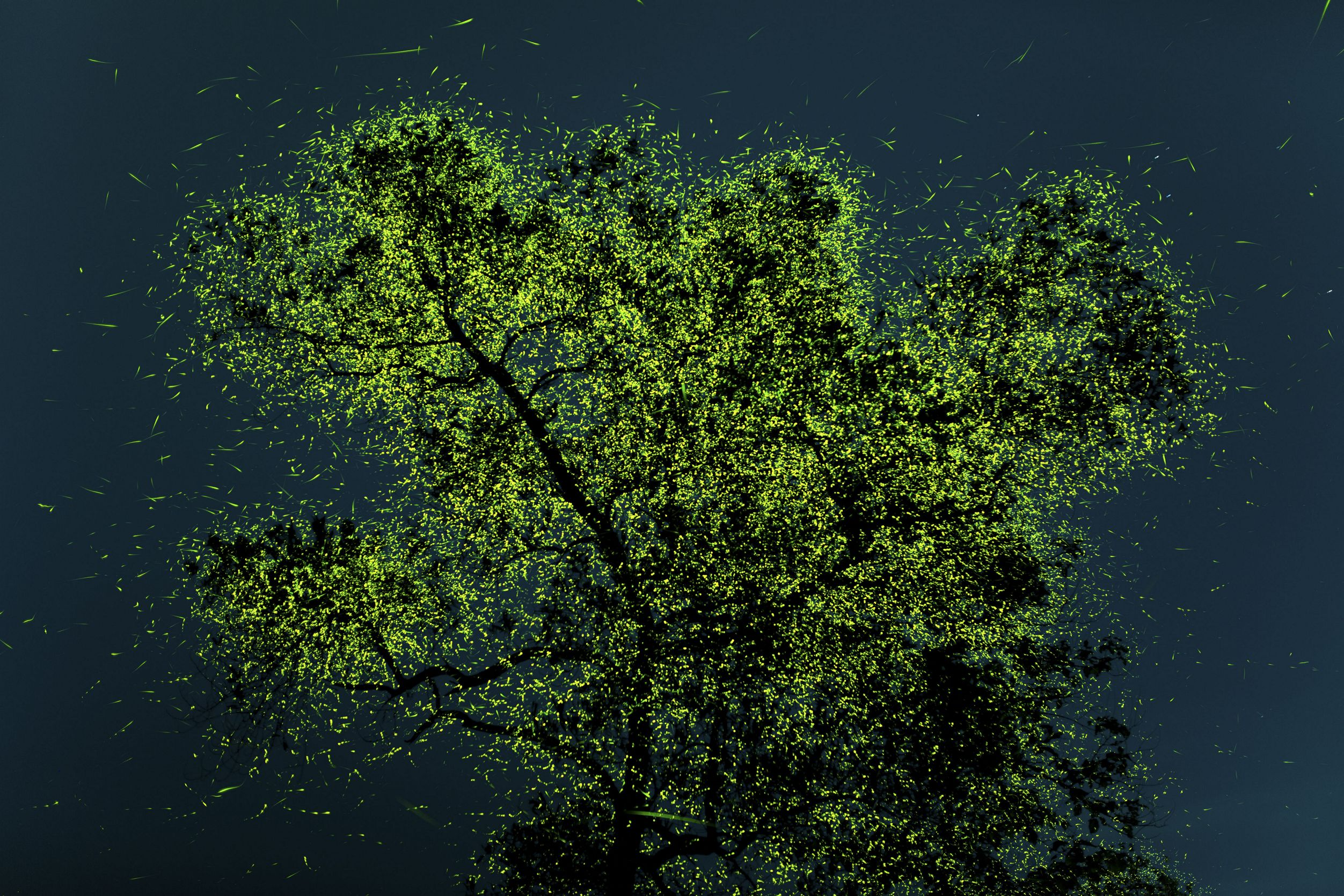 Just before Monsoon, these fireflies congregate in certain regions of India and on a few special trees like this one, they are in crazy quantity which can range in millions