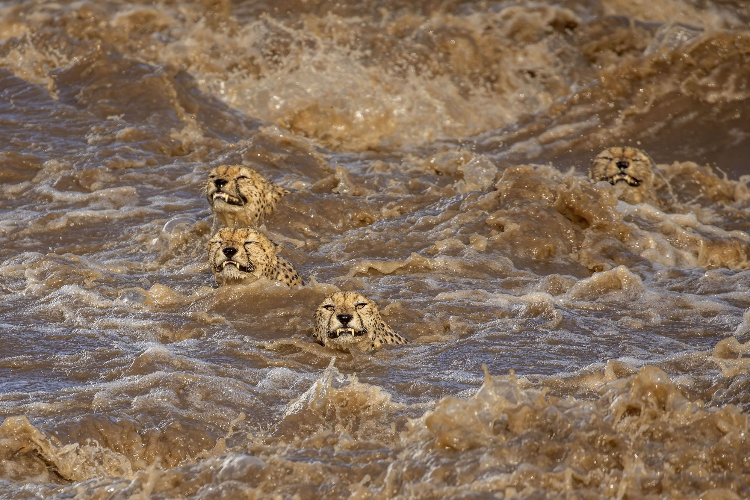 Five male cheetahs, were looking to cross this river in powerful currents. It seemed a task doomed to failure and we were delighted when they made it to the other side