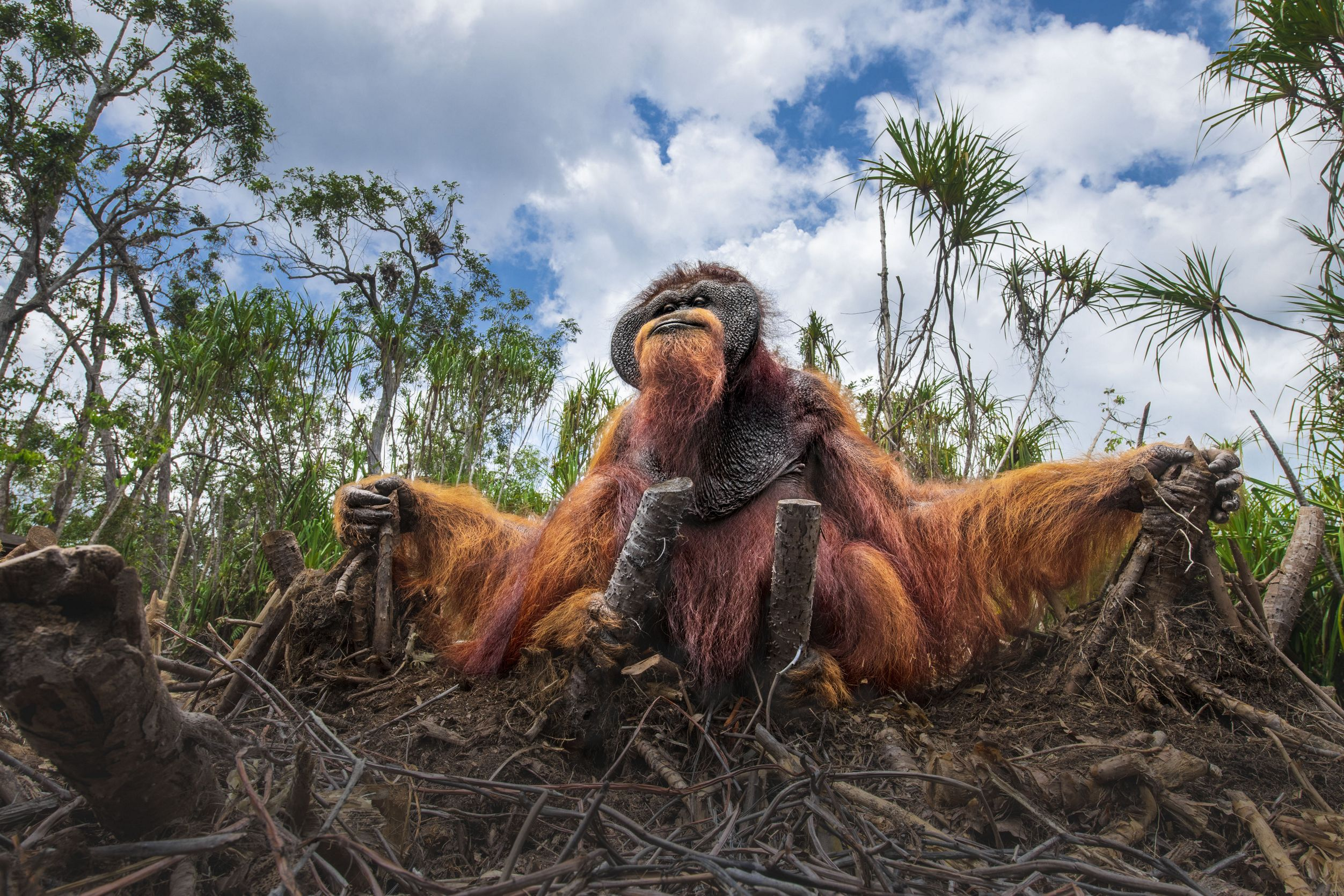Orangutans are accustomed to live on trees and feed on wild fruits like lychees, mangosteens, and figs, and slurp water from holes in trees