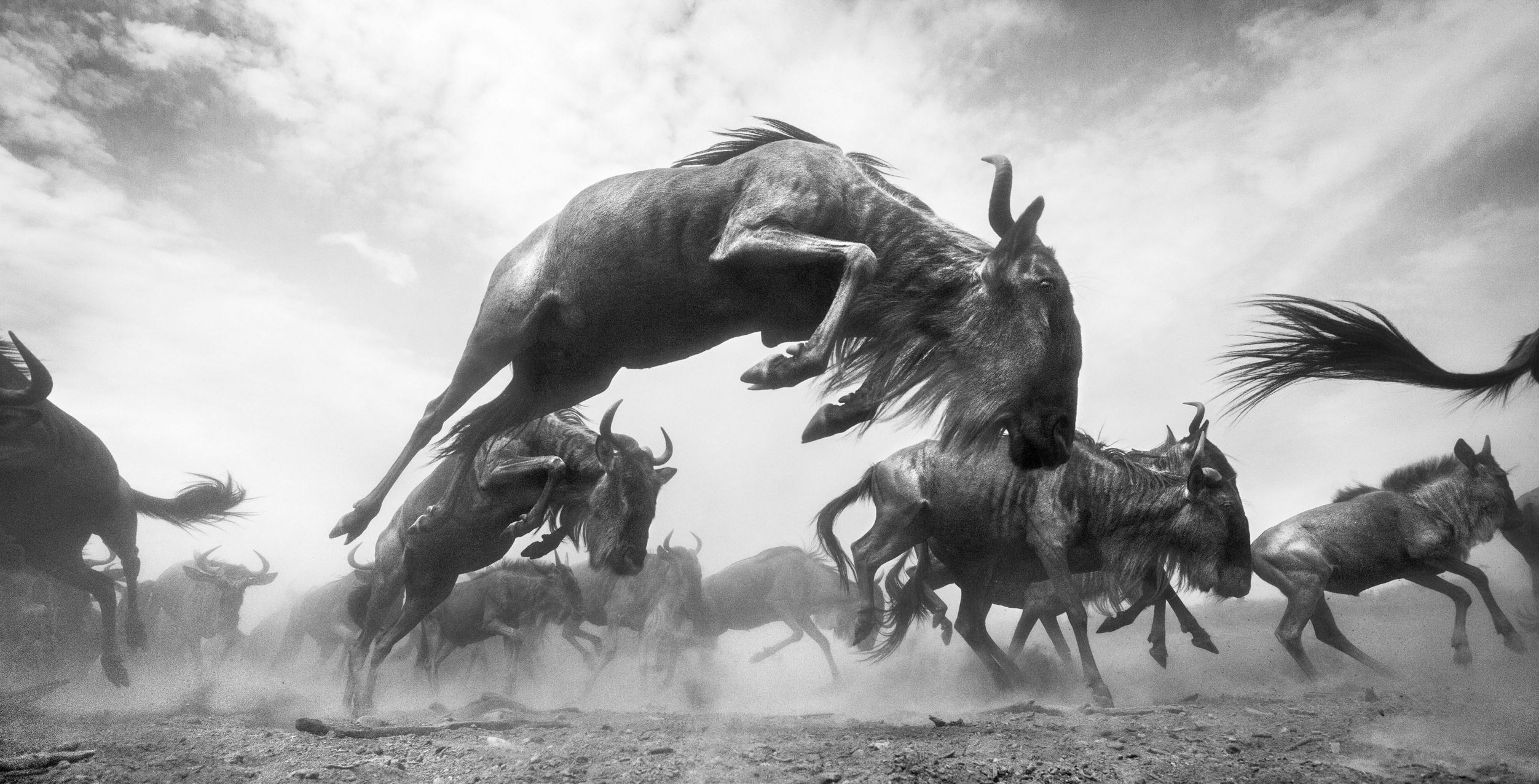 Maasai Mara National Reserve, Kenya. During the frenzy of crossing the Mara River, the wildebeests were leaping, kicking, scampering and bucking